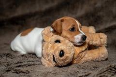 睡觉在一条棕色毯子的杰克罗素小狗朝向对玩具 库存图片
