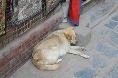睡觉在一条街道的白色狗在加德满都,尼泊尔 库存照片