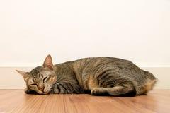 睡觉在与白色空白墙壁的木地板上的猫 可爱的猫休息关闭眼睛在家 库存图片