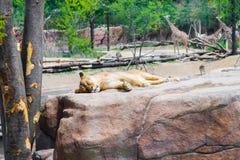 睡觉在与长颈鹿的岩石的雌狮在背景中在  免版税库存图片