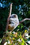 睡觉在两木肢体之间的树袋熊在澳大利亚保护森林,袋熊cinereus里 图库摄影