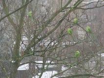 睡觉在冬天树的五只绿色圆环收缩的长尾小鹦鹉 库存照片