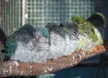 睡觉在分支的小组鹦鹉 免版税库存图片