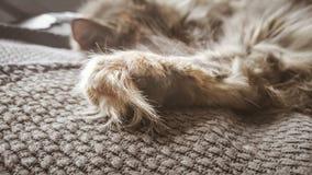睡觉在办公室椅子的一只美丽的三色猫 小猫睡着在毯子 免版税图库摄影