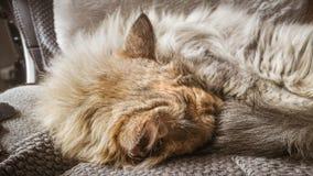 睡觉在办公室椅子的一只美丽的三色猫 小猫睡着在毯子 免版税库存图片