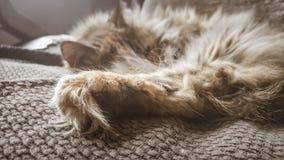 睡觉在办公室椅子的一只美丽的三色猫 小猫睡着在毯子 图库摄影