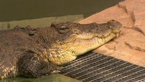 睡觉在动物园里的盐水鳄鱼 影视素材