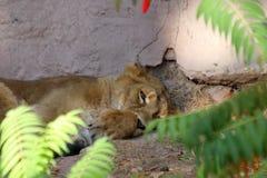 睡觉在动物园里的老虎在纽伦堡 免版税库存图片