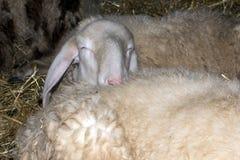 睡觉在另一只绵羊的绵羊 免版税图库摄影