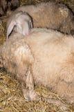 睡觉在另一只绵羊的绵羊 免版税库存图片