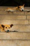 睡觉在台阶的两条狗 免版税库存图片