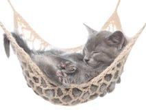 睡觉在吊床的逗人喜爱的灰色小猫 库存图片