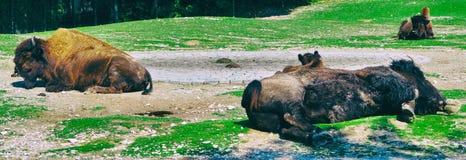 睡觉在土地面美国动物的水牛城狂放 免版税图库摄影