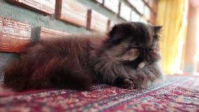 睡觉在地毯、关闭和低角度射击的波斯猫 股票视频