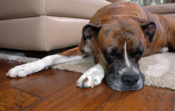 睡觉在地毯的拳击手狗在沙发附近 免版税图库摄影