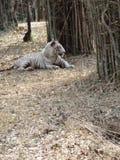 睡觉在地面下的白色老虎一个特别姿势 免版税库存照片