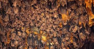 睡觉在天花板的棒在果阿Lawah寺庙在巴厘岛 免版税库存照片