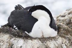 睡觉在孵出放置期间的南极蓝眼睛的鸬鹚 免版税图库摄影