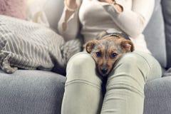 睡觉在它的所有者的满足的小犬座舔 免版税库存图片
