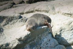 睡觉在岩石的海狮幼崽 库存照片