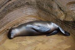 睡觉在岩石的海狮 免版税图库摄影