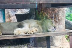 睡觉在岩石的白色狮子在动物园里在泰国 免版税库存图片