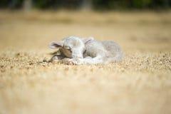 睡觉在干草的逗人喜爱的羊羔 免版税库存图片