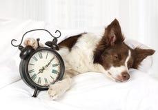 睡觉在床上的逗人喜爱的大牧羊犬边界品种狗 库存照片