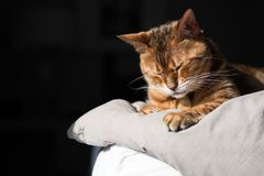 睡觉在床和早晨日出上的一只美丽的棕色孟加拉猫发光 免版税库存图片