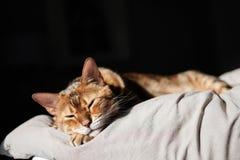 睡觉在床和早晨日出上的一只美丽的棕色孟加拉猫发光 免版税图库摄影