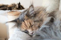 睡觉在抓的两只缅因树狸猫岗位 免版税库存图片