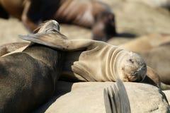 睡觉在拉霍亚的加利福尼亚海狮 免版税库存图片