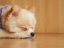 睡觉在文本的木地板面积的Pomeranian狗 库存图片