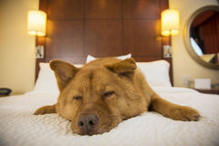 睡觉在旅馆客房的狗 免版税库存图片