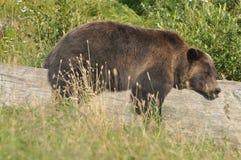 睡觉在日志的北美灰熊崽 免版税库存图片