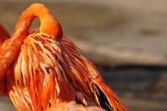 睡觉在日落的桃红色火鸟 免版税库存照片