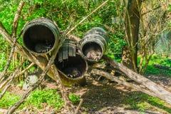 睡觉在是桶的他们的动物隐藏处家的浣熊 图库摄影
