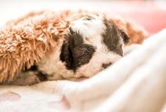 睡觉在有心脏的一张桃红色席子的逗人喜爱的黑白小狗在棕色软的地毯下 免版税库存图片