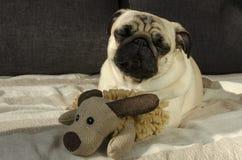 睡觉在有玩具的沙发的逗人喜爱的滑稽的小狗品种哈巴狗 免版税图库摄影
