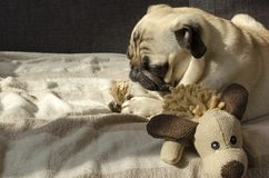睡觉在有玩具的沙发的逗人喜爱的滑稽的小狗品种哈巴狗 免版税库存照片