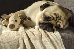 睡觉在有玩具的沙发的逗人喜爱的滑稽的小狗品种哈巴狗 库存图片