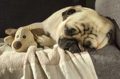 睡觉在有玩具的沙发的逗人喜爱的滑稽的小狗品种哈巴狗 免版税库存图片