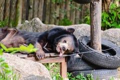 睡觉在木卧具的亚洲黑熊 免版税库存照片
