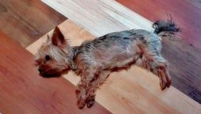 睡觉在木地板上的小狗 库存图片