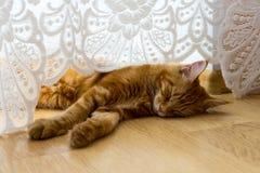 睡觉在木地板上的幼小红色猫在帷幕下 免版税库存照片