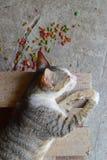 睡觉在木机架的猫用五颜六色的猫食在地面上驱散了 免版税图库摄影