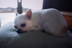 睡觉在枕头的奇瓦瓦狗狗 图库摄影