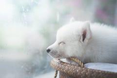 睡觉在柳条床上的逗人喜爱的白色小狗 库存图片