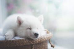 睡觉在柳条床上的逗人喜爱的白色小狗 免版税库存照片