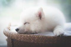 睡觉在柳条床上的逗人喜爱的白色小狗 库存照片